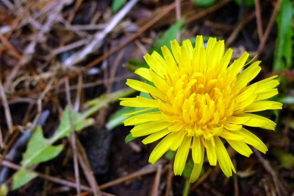Download Free Stock Photo of Dandelion Flower Closeup
