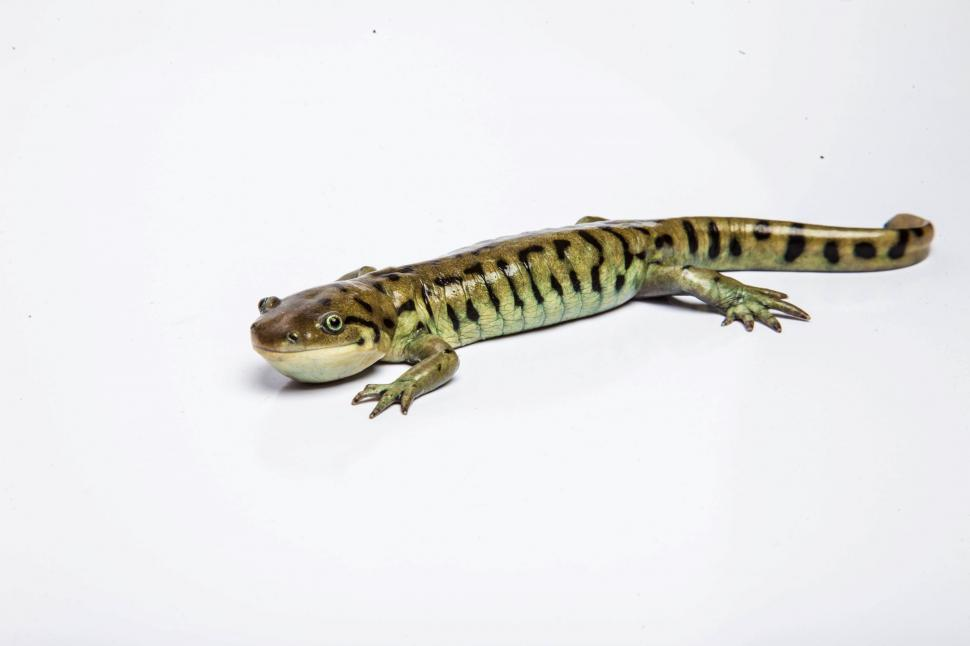 Download Free Stock HD Photo of Tiger Salamander on white Online