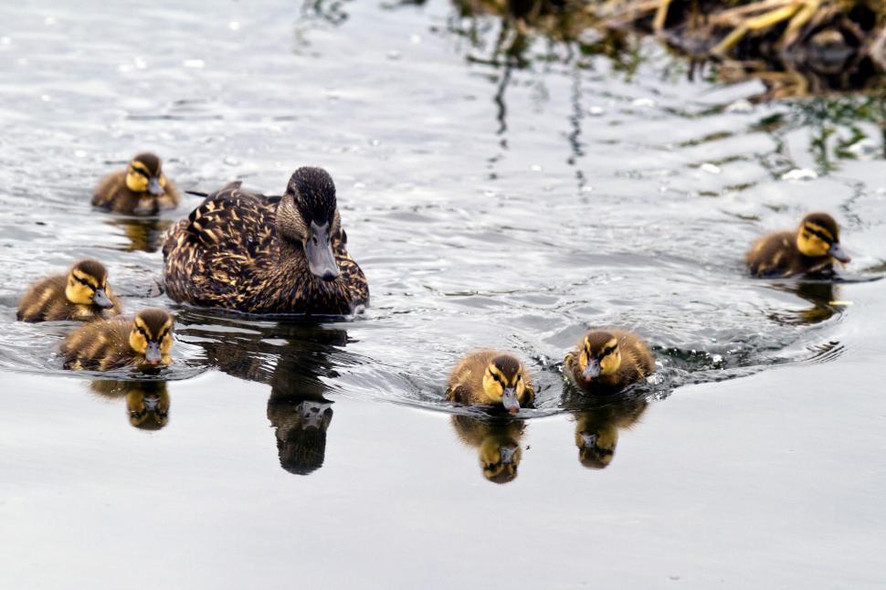 Download Free Stock Photo of Baby Mallard Ducks