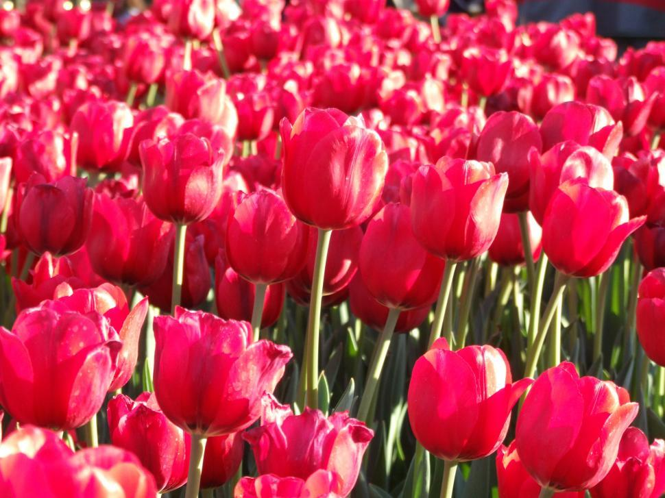 Download Free Stock HD Photo of Tulips Online
