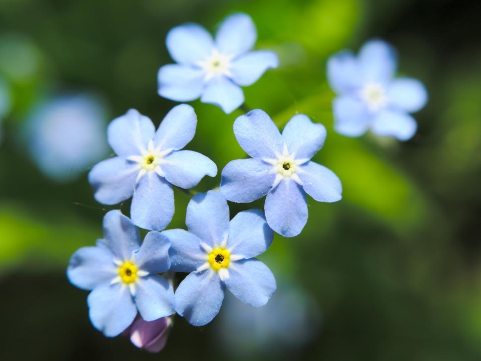 Download Free Stock Photo of Tiny blue flowers