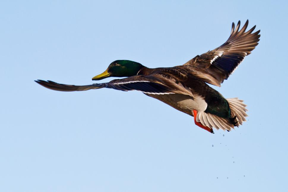 Download Free Stock Photo of Duck