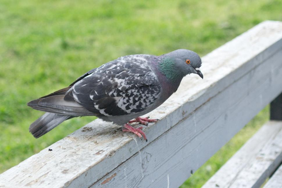 Download Free Stock Photo of Pigeon
