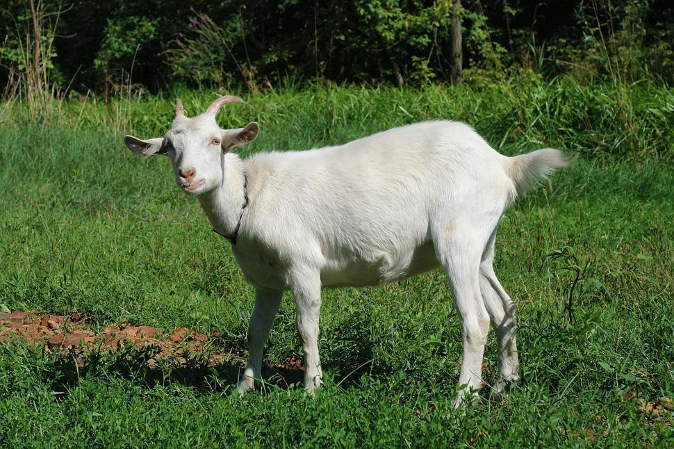 Download Free Stock Photo of Goat