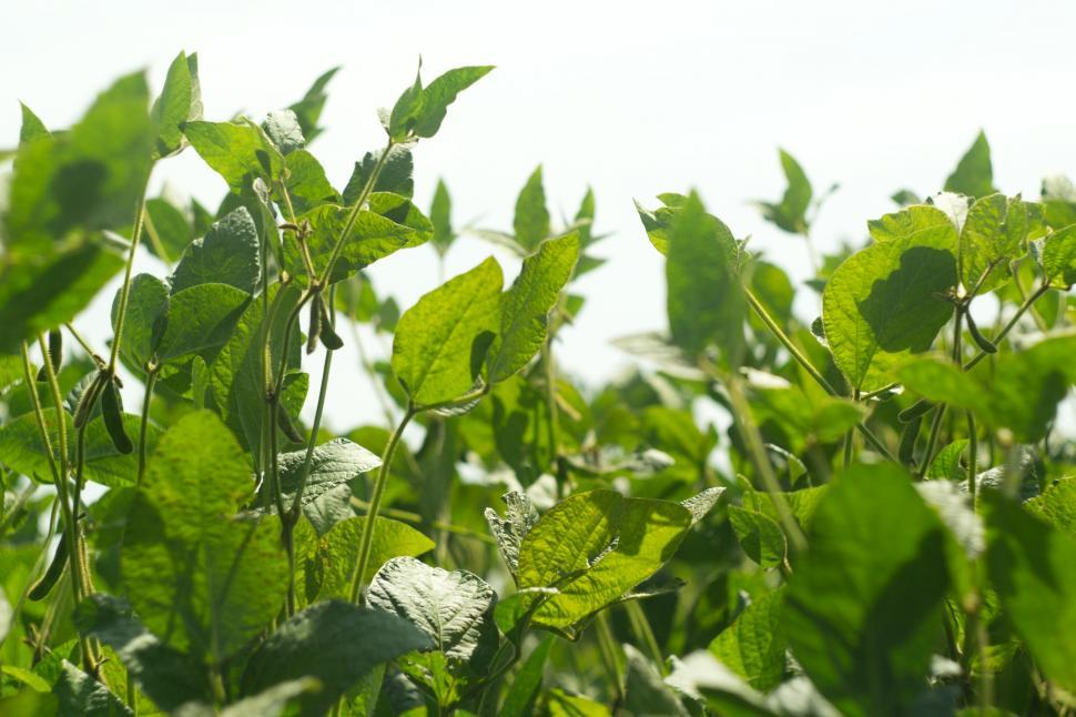 Download Free Stock Photo of Soy plants