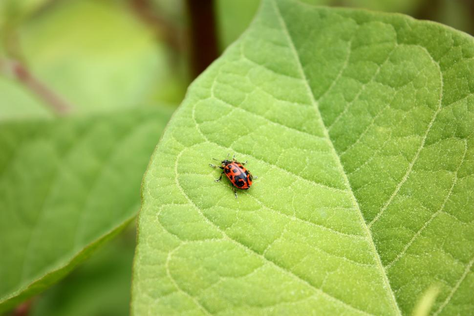 Download Free Stock Photo of A ladybug on a large green leaf