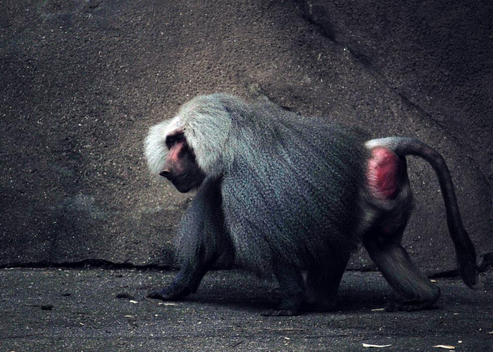 Download Free Stock HD Photo of Baboon Online