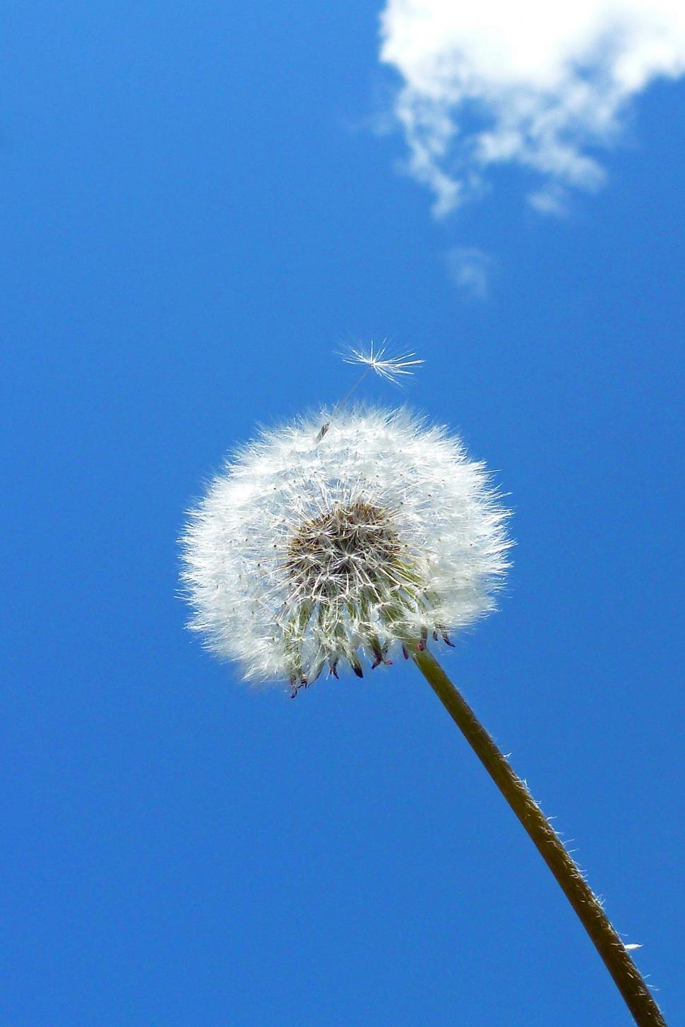 Download Free Stock Photo of Dandelion Seeds Agaist Blue Sky