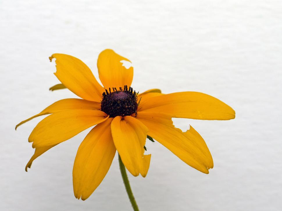 Download Free Stock Photo of Black Eyed Susan Flower On white Background