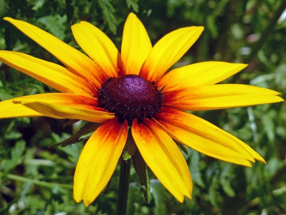 Download Free Stock Photo of Blackeyed Susan Flower In Backyard Garden
