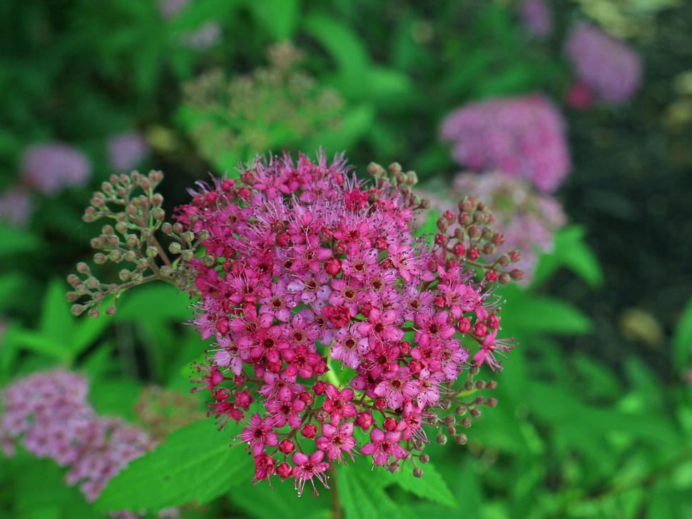 Download Free Stock Photo of Red Spirea Flowers Closeup