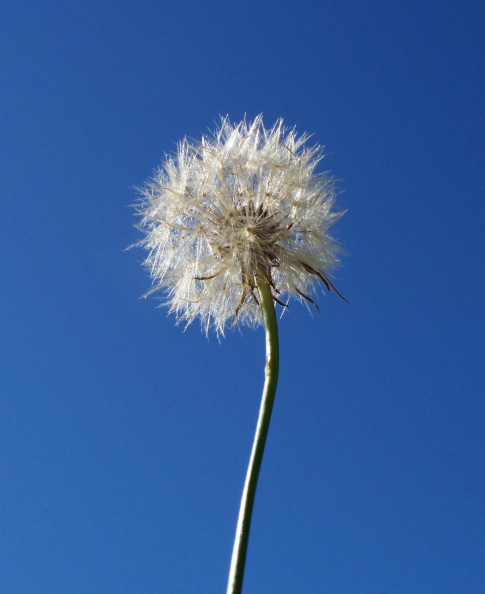 Download Free Stock Photo of Seeding Dandelion