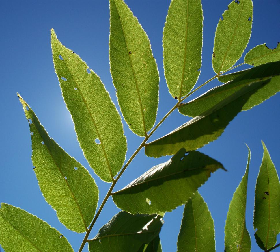 Download Free Stock HD Photo of Black Walnut Tree Leaves Online
