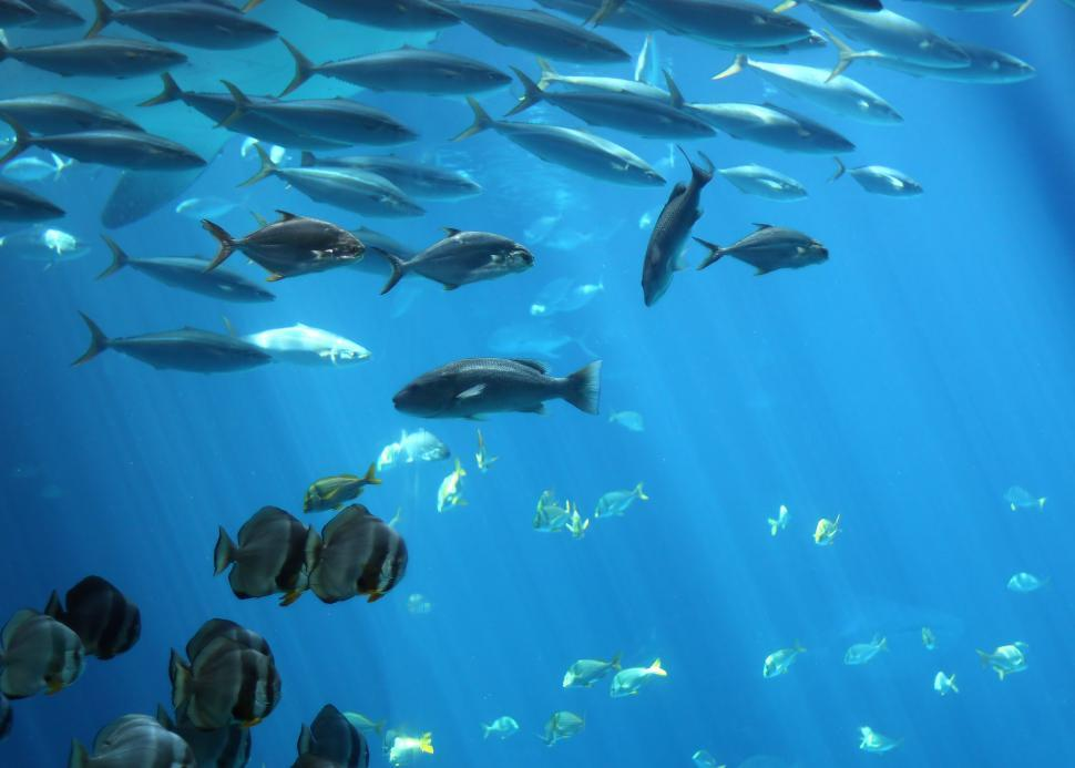 Download Free Stock Photo of Schools of tropical fish swimming under water