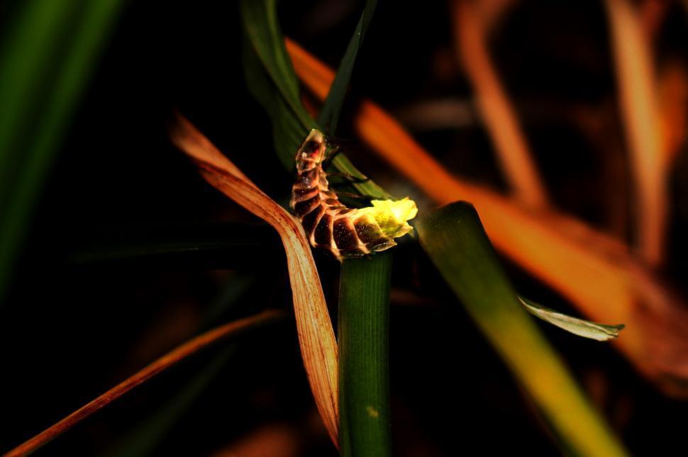 Download Free Stock HD Photo of European Glow Worm - Lampyris noctiluca Online
