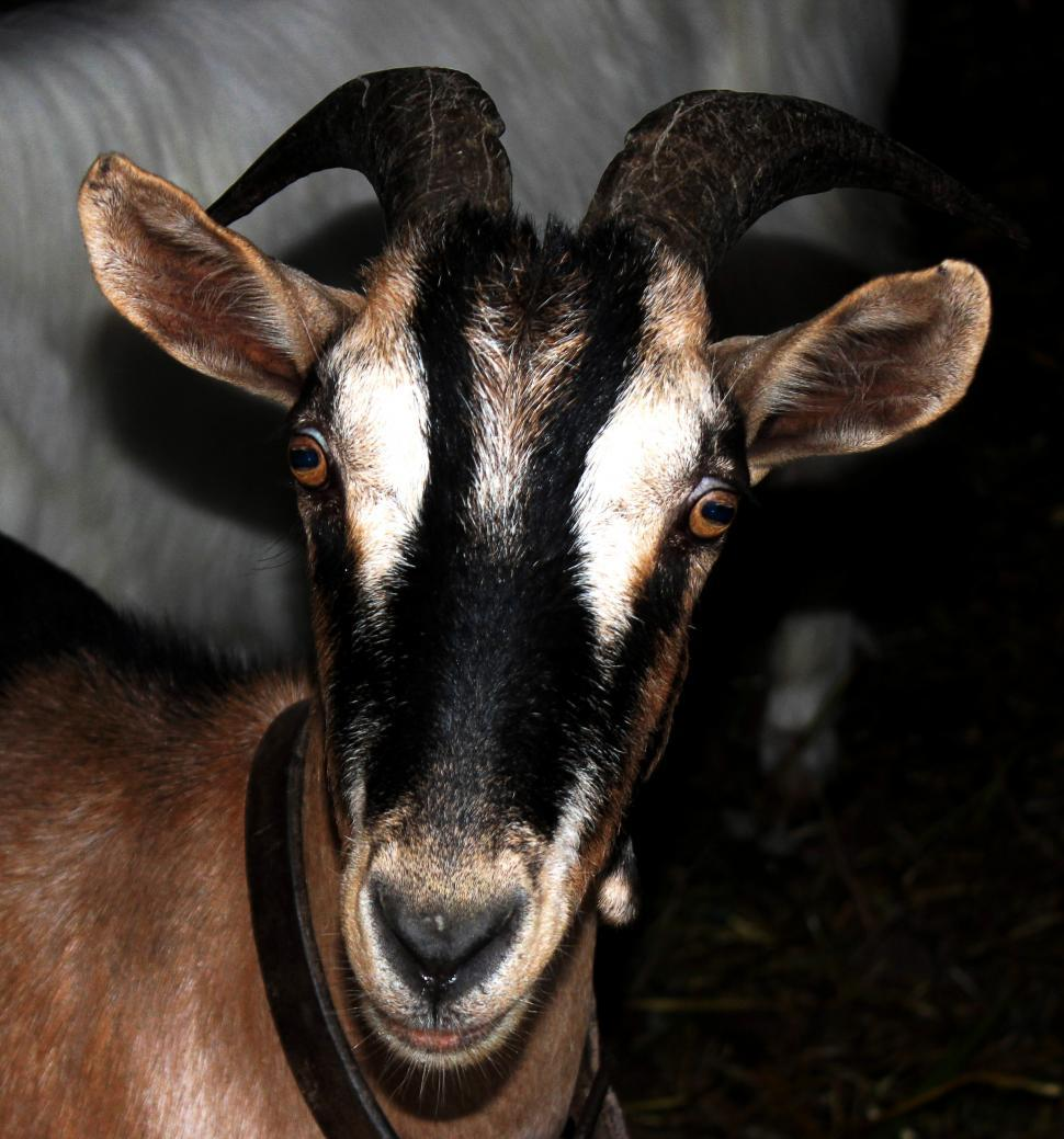 Download Free Stock Photo of Head of a goat