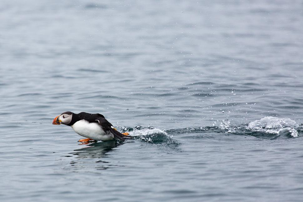 Download Free Stock Photo of Puffins