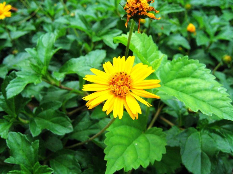 Download Free Stock Photo of Yellow flower