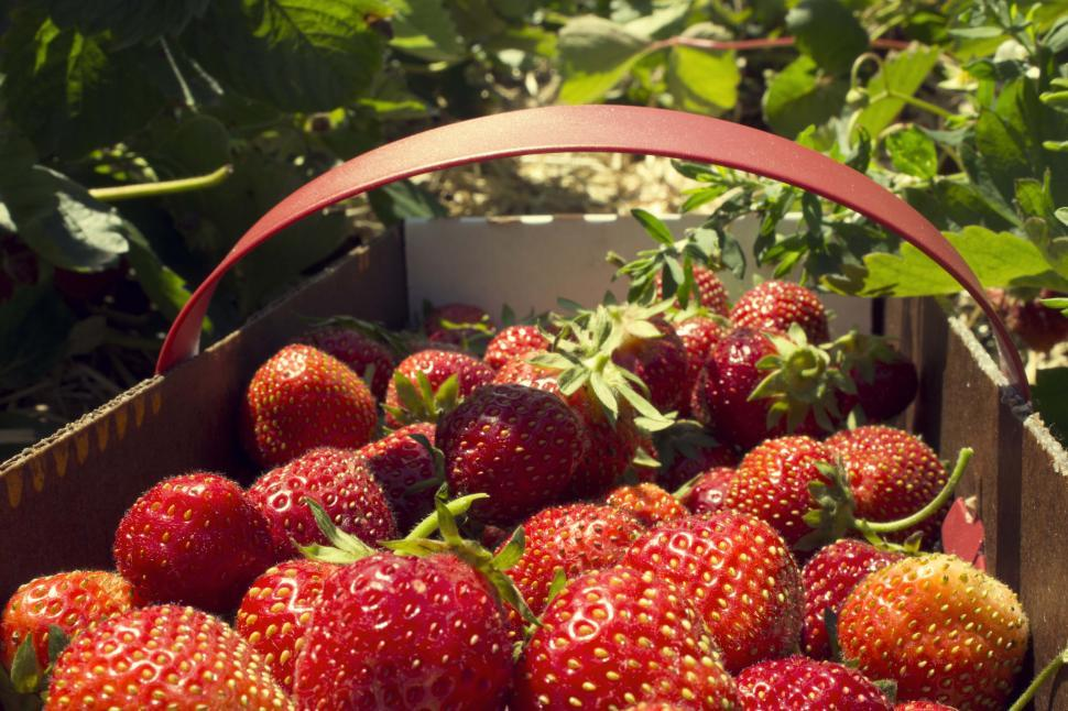 Download Free Stock Photo of Strawberry Picking