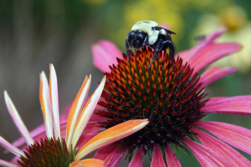 Download Free Stock Photo of Bee On Purple Coneflower