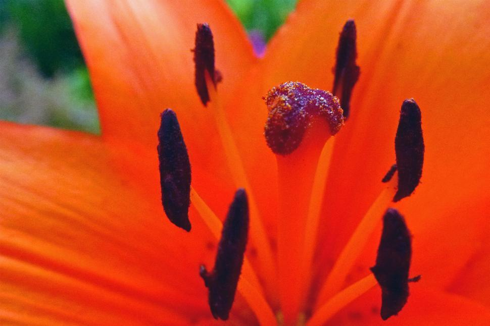 Download Free Stock HD Photo of Lily Asiatic Flower Online