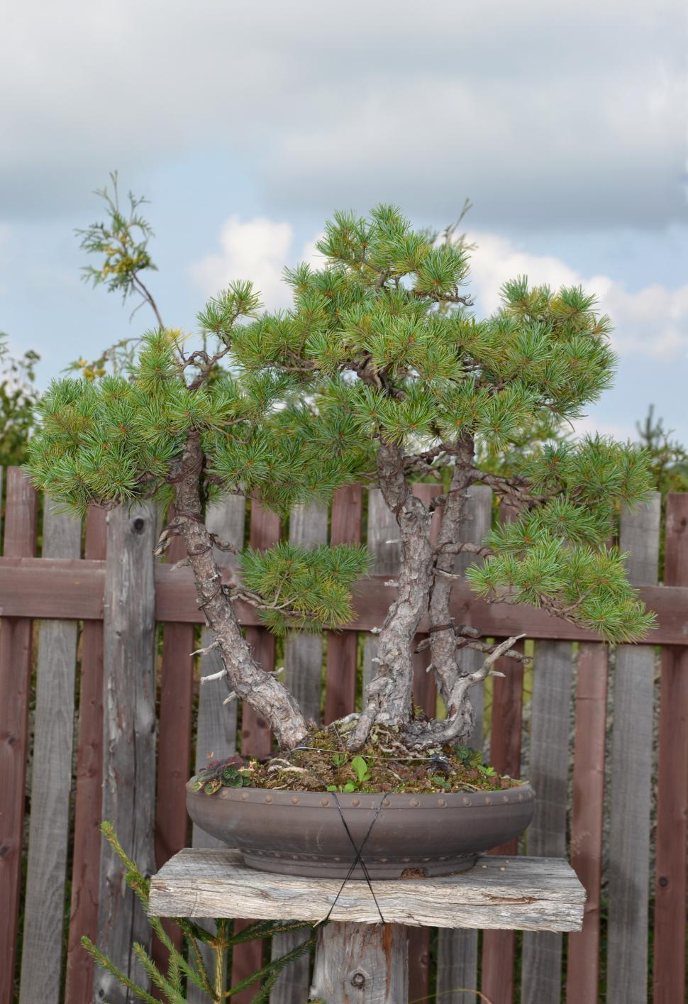 Download Free Stock HD Photo of Bonsai pine Online