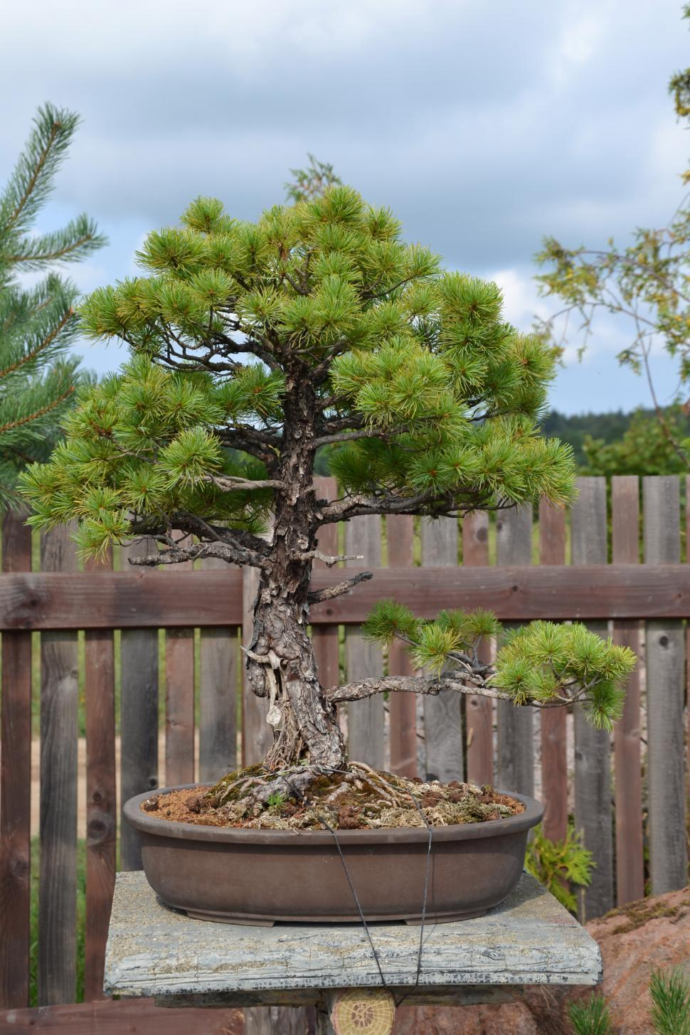 Download Free Stock Photo of Bonsai pine