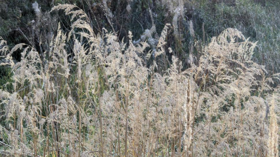 Download Free Stock Photo of Dried autumn reed