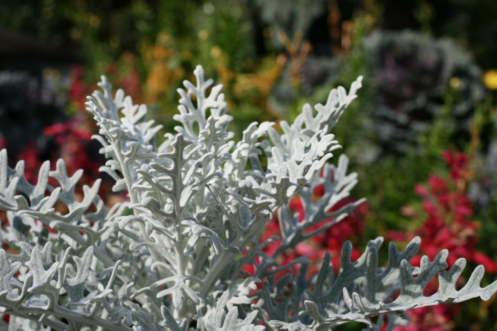 Download Free Stock Photo of dusty miller