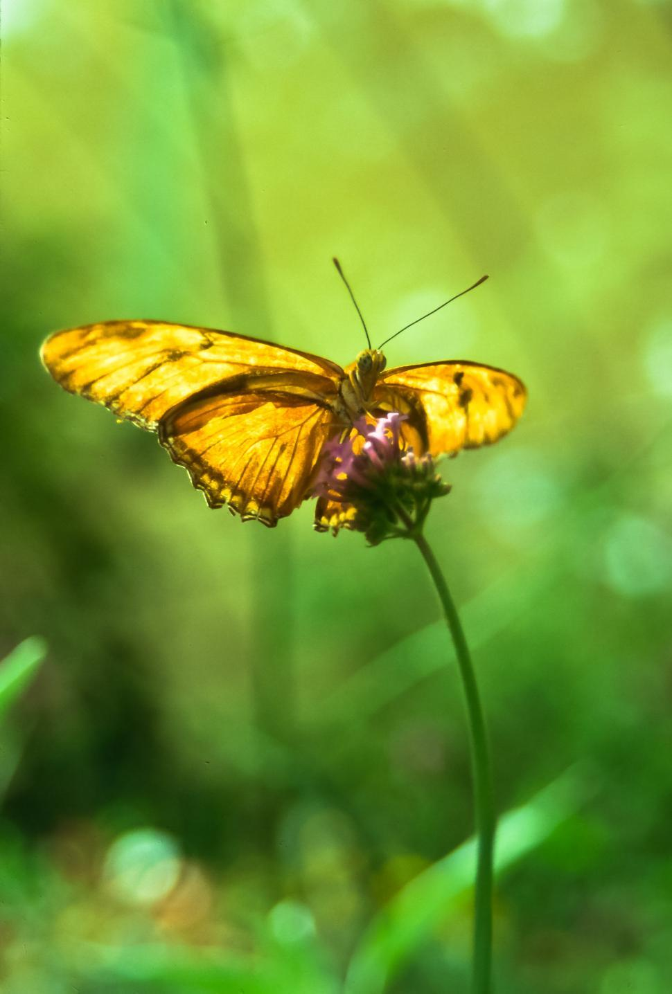 Download Free Stock Photo of Orange Butterfly