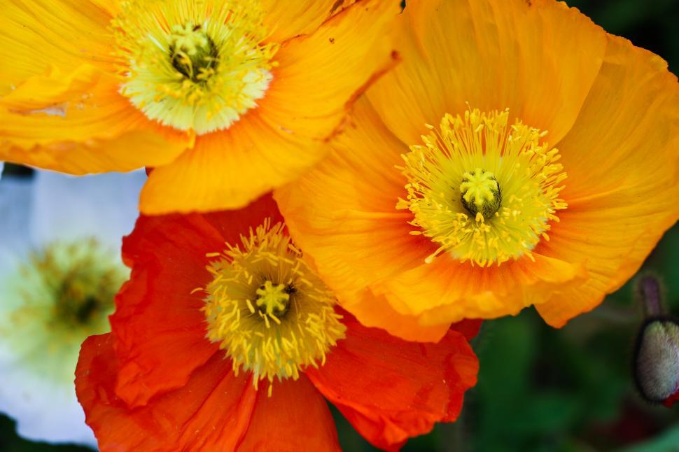 Download Free Stock HD Photo of Poppies Online