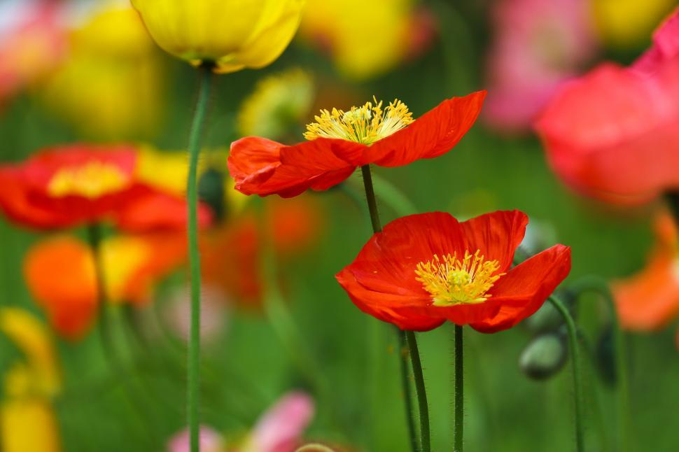 Download Free Stock HD Photo of Filed of Poppies Online