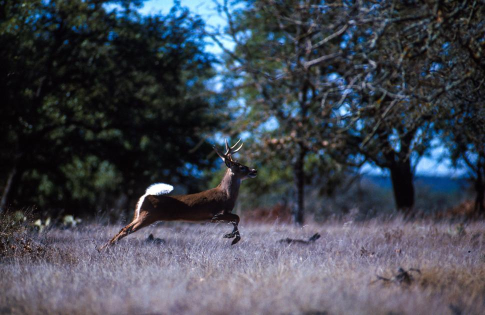 Download Free Stock Photo of White-tailed deer