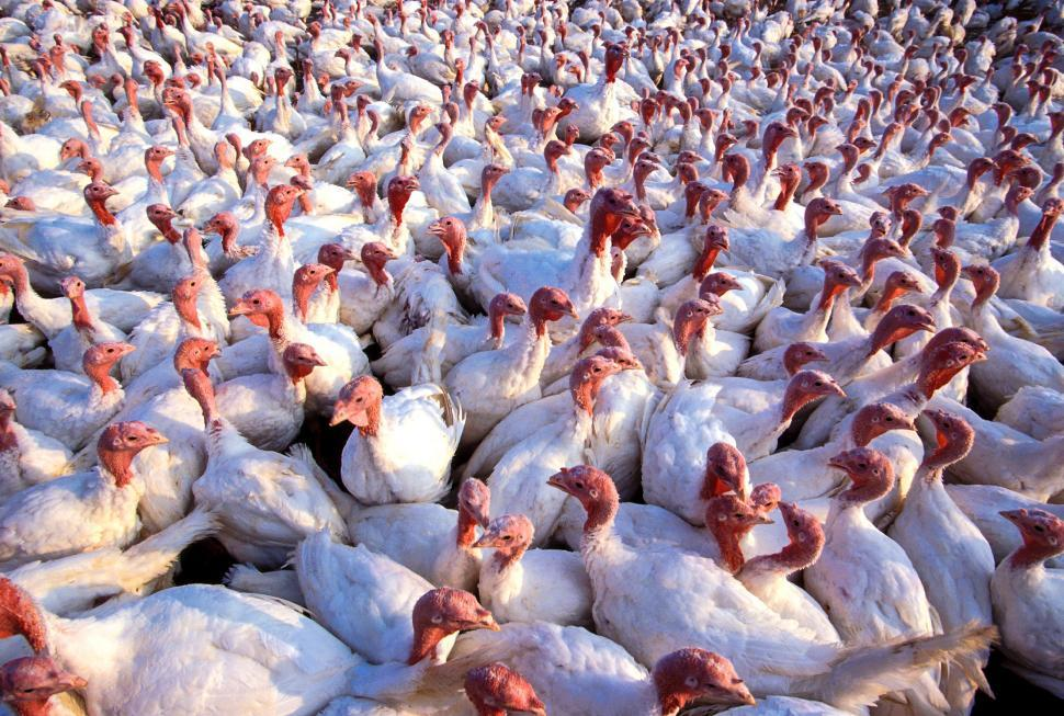Download Free Stock Photo of Turkey Farming