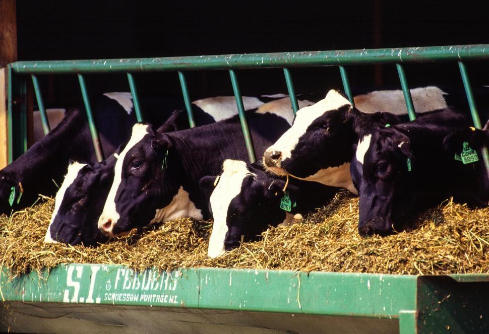 Download Free Stock HD Photo of Holstein Friesian Cows Online
