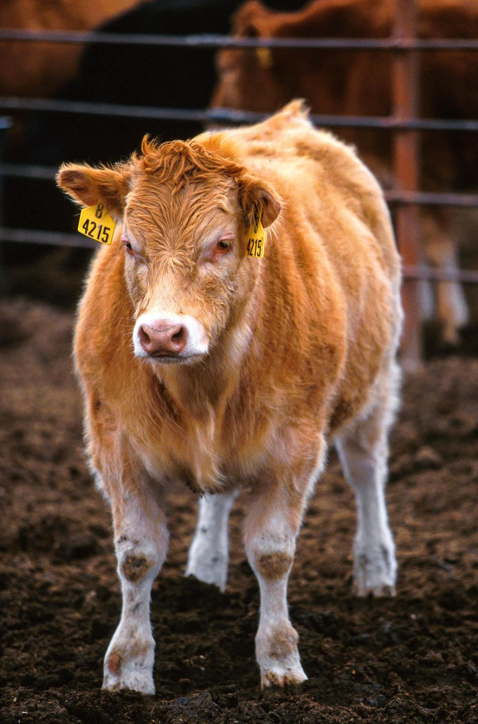 Download Free Stock HD Photo of Piedmontese ? Hereford cattle Online