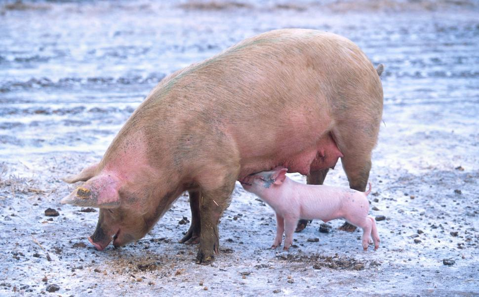 Download Free Stock HD Photo of Piglet suckling sow Online