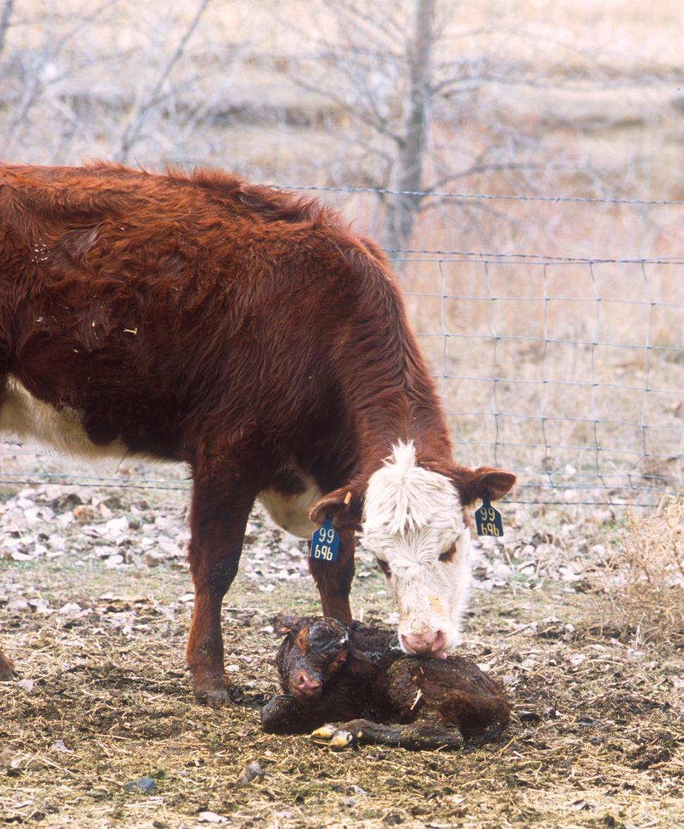Download Free Stock Photo of Hereford beef cattle with new born calf