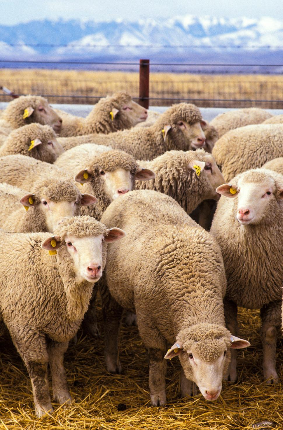 Download Free Stock HD Photo of Group of Sheep Online