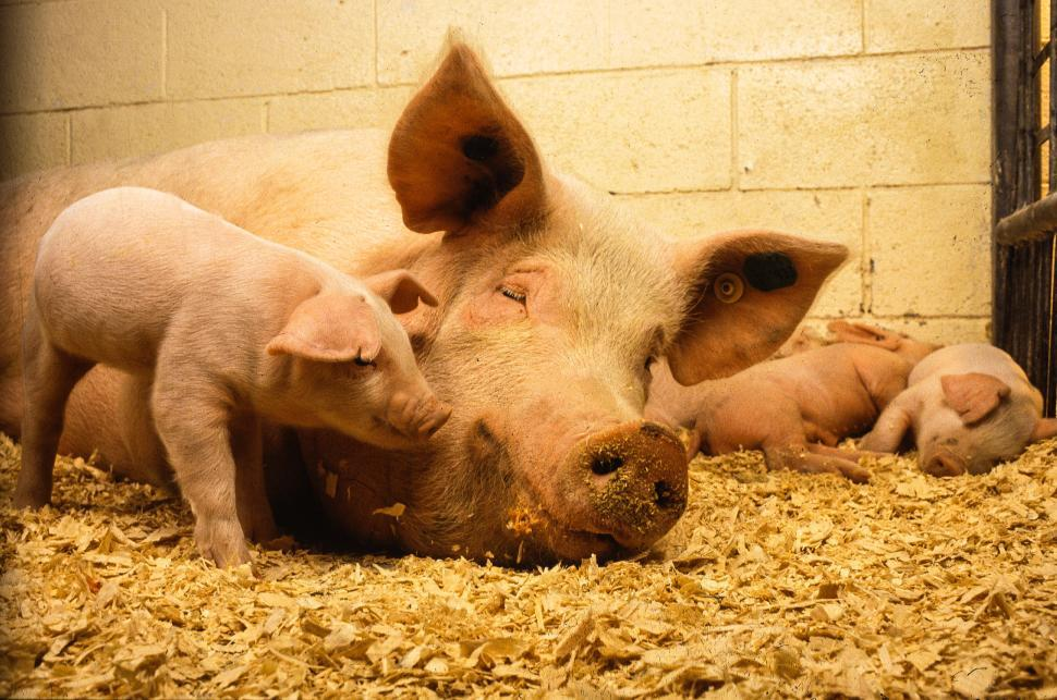 Download Free Stock Photo of Piglets with Pig