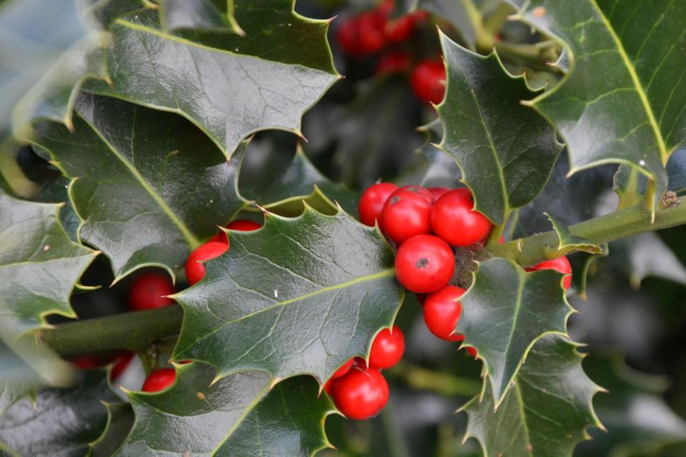 Download Free Stock Photo of Christmas holly