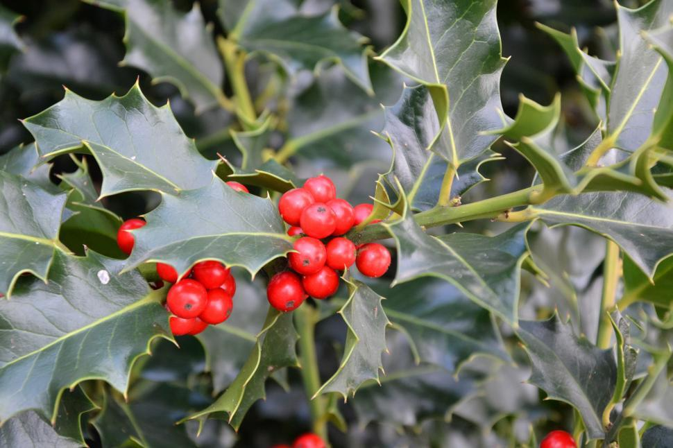 Download Free Stock HD Photo of Christmas holly Online