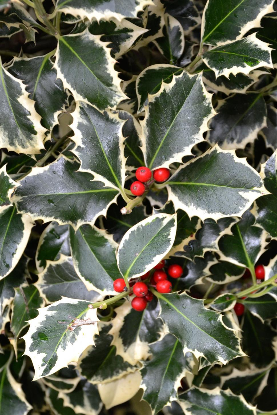 Download Free Stock HD Photo of Christmas holl variegated Online