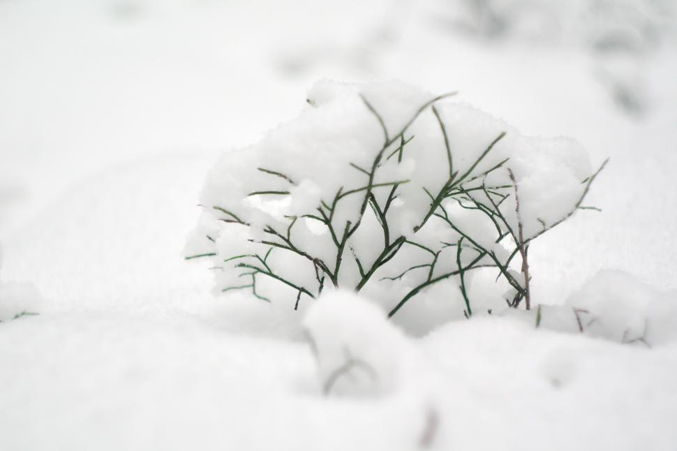 Download Free Stock Photo of Small bush covered with snow