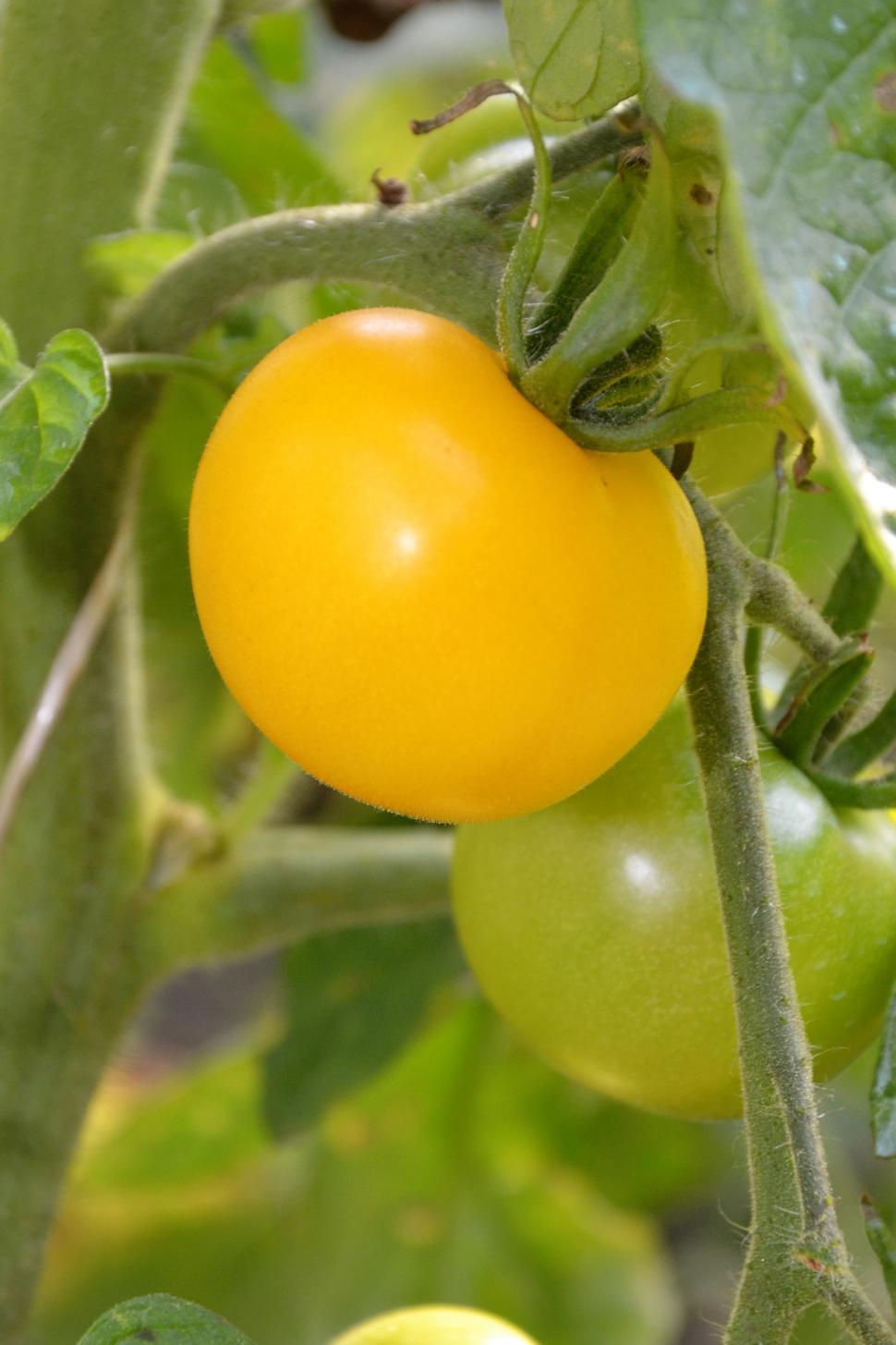 Download Free Stock Photo of Yellow tomato on vine