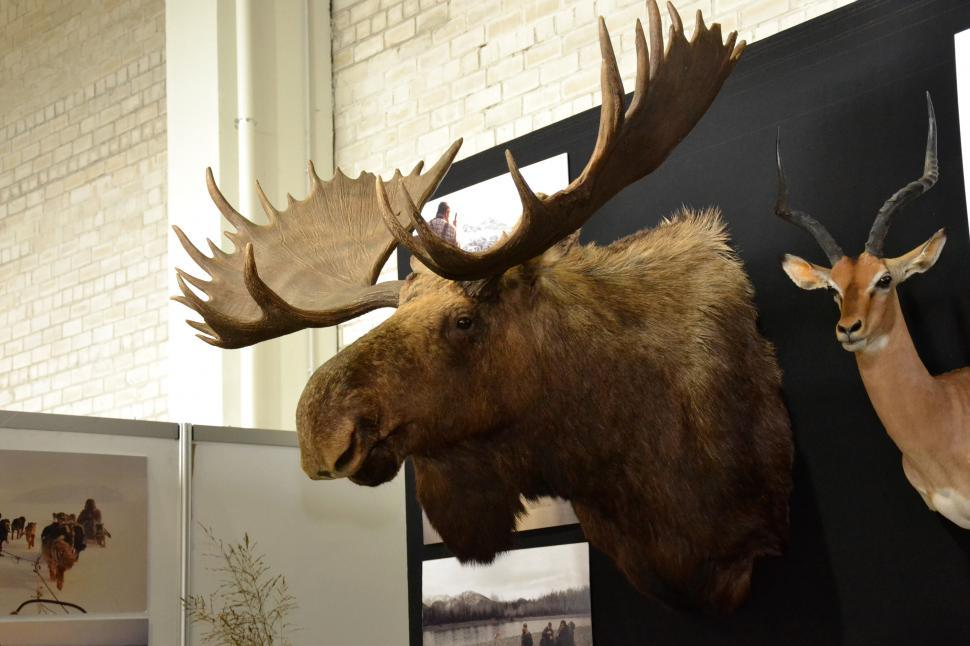 Download Free Stock Photo of Moose trophy head