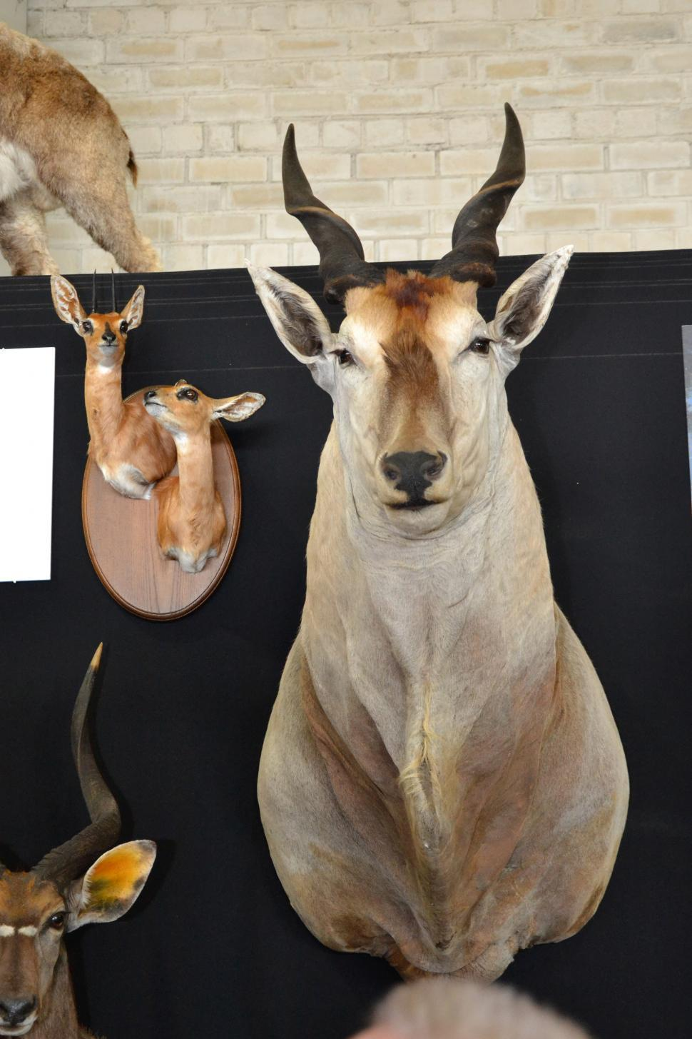 Download Free Stock Photo of Antilope trophy head