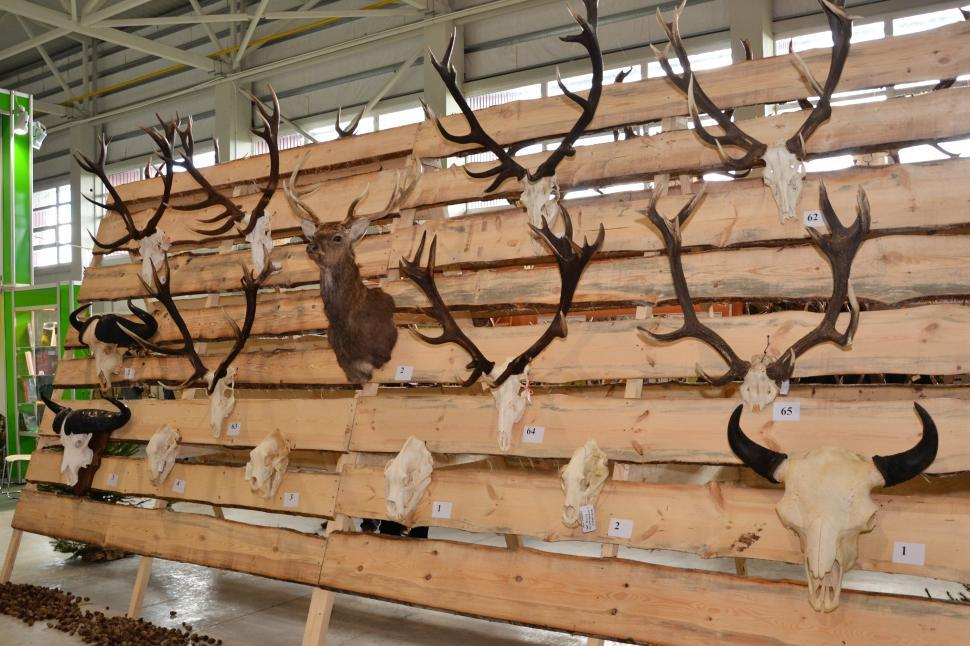 Download Free Stock Photo of Trophy antlers