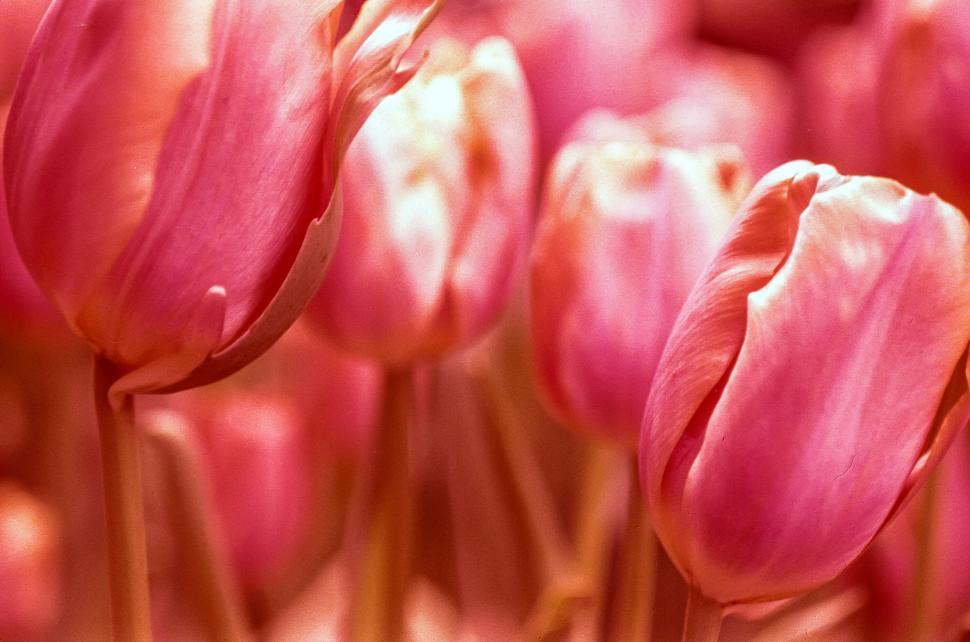 Download Free Stock Photo of Tulips