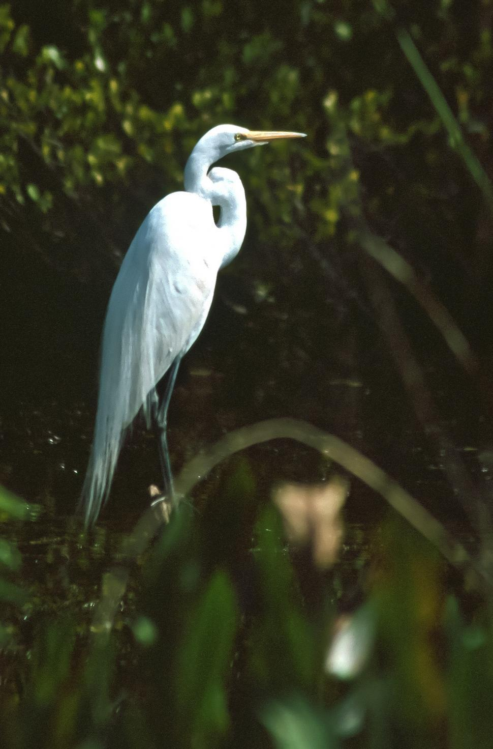 Download Free Stock Photo of Great Snowy Egret